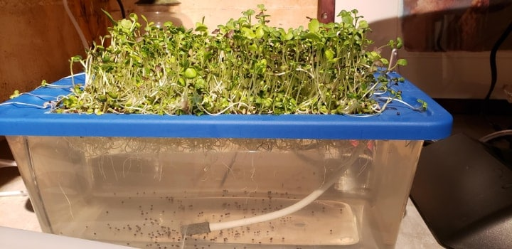 hydroponic microgreen at home