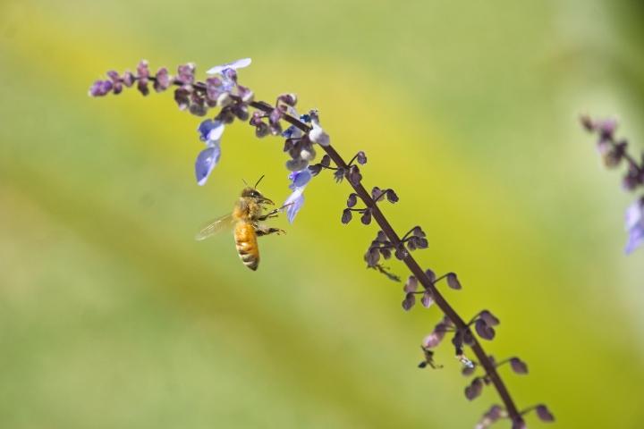 italian honey bee apis mellifera linguistica