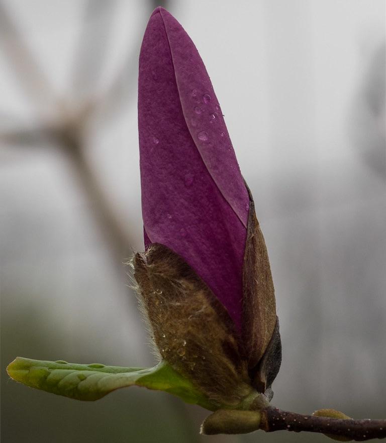 jane magnolia flowering tree