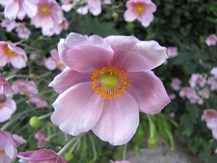 japanese anemone dry shade plants