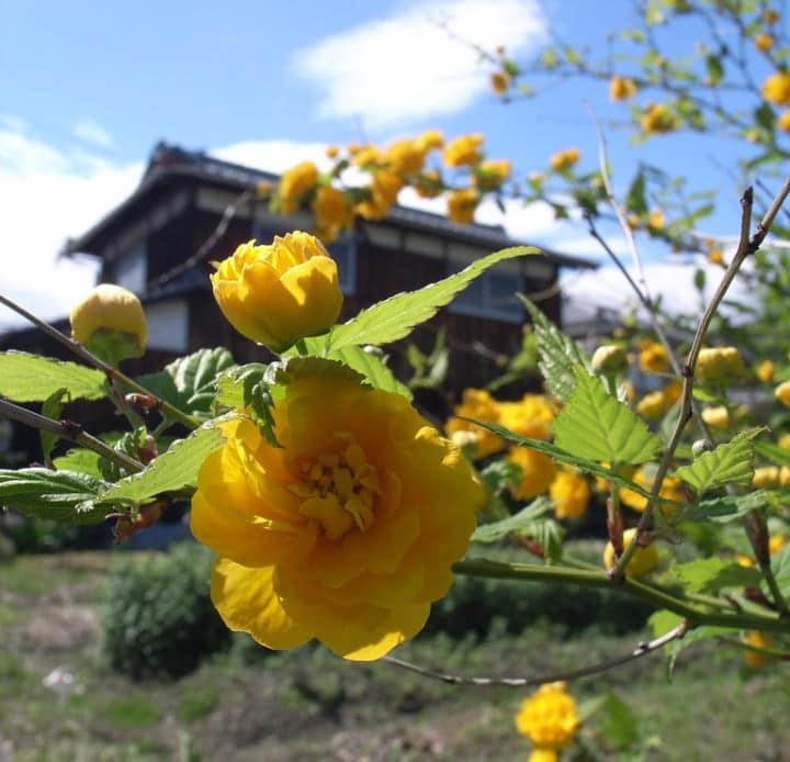 japanese rose dry shade plant