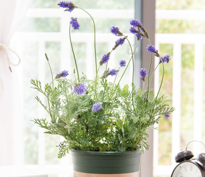 lavender flower by the window