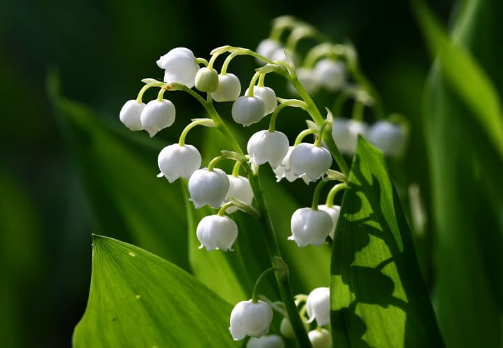 lily of the valley dry shade plants