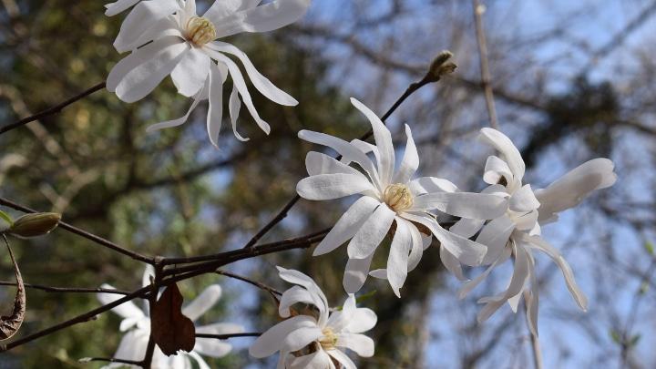 loebner magnolia tree flowers