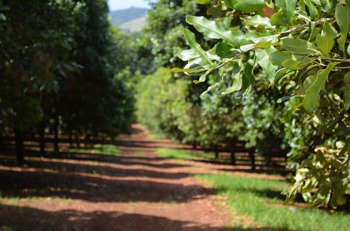 macadamia tree provides shade to coffee plants