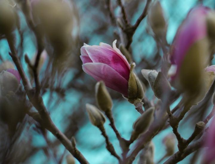 magnolia ann tree