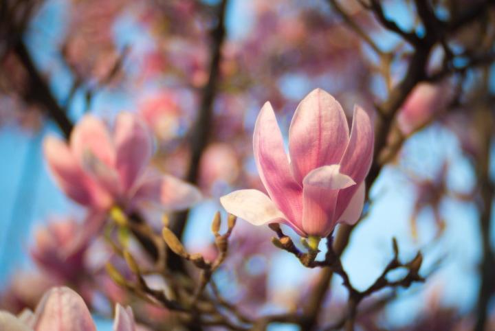 magnolia soulangea tree