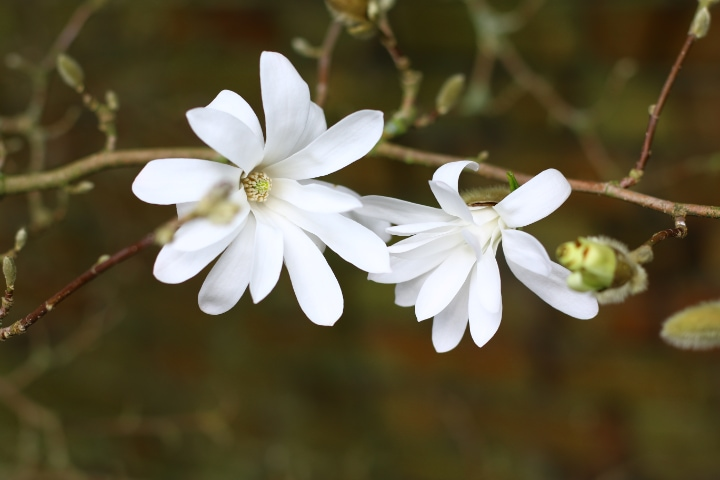 magnolia stellata tree flowers
