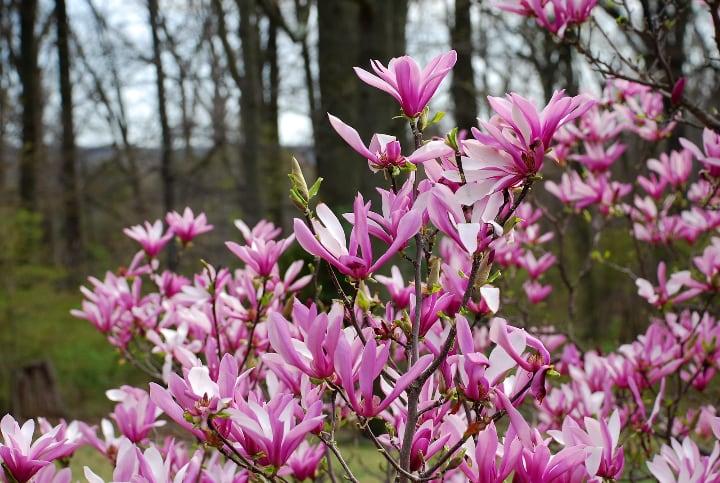 magnolia susan tree