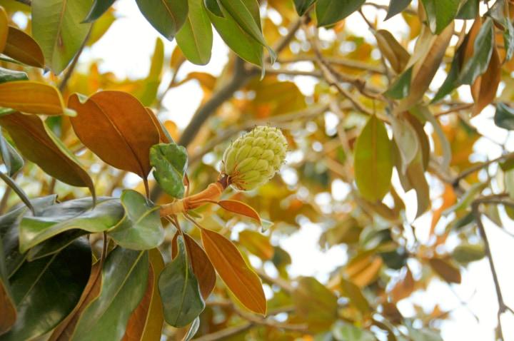 magnolia tree leaves