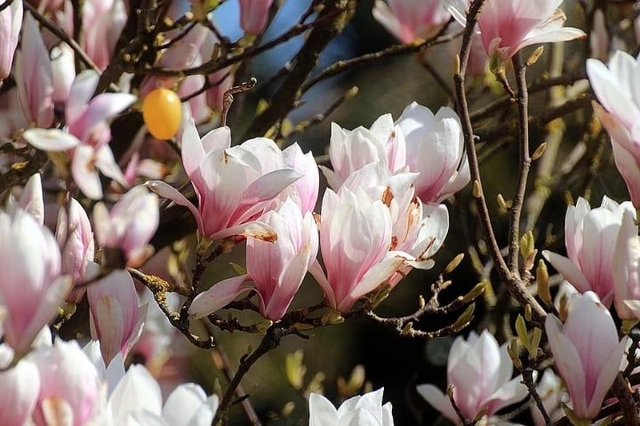 magnolia tulip tree flowers