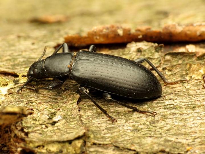 meal worm beetle