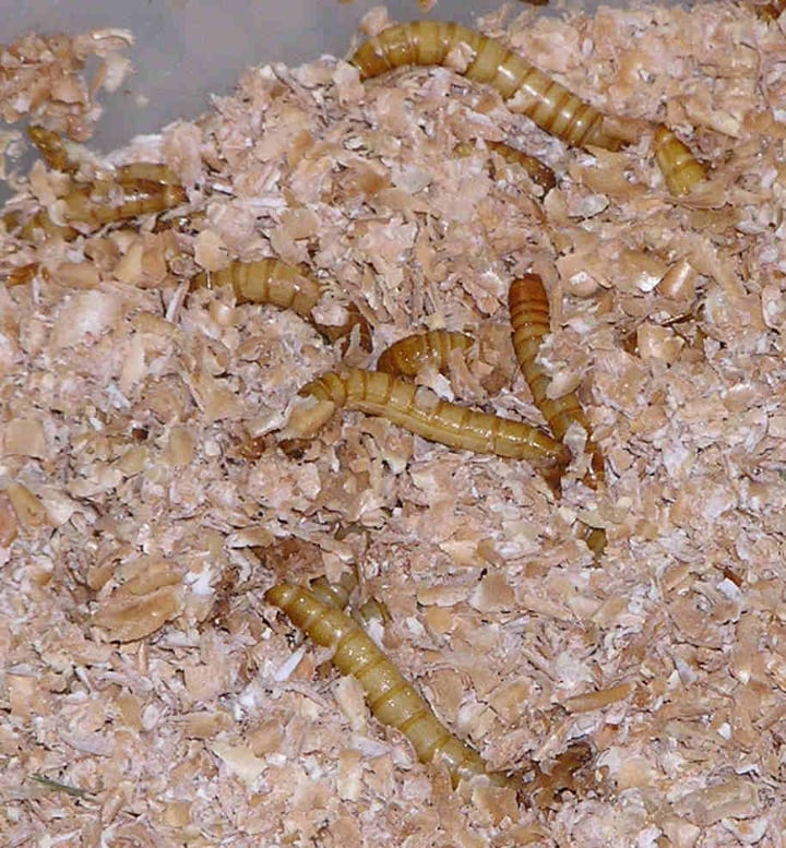 meal worms in bran