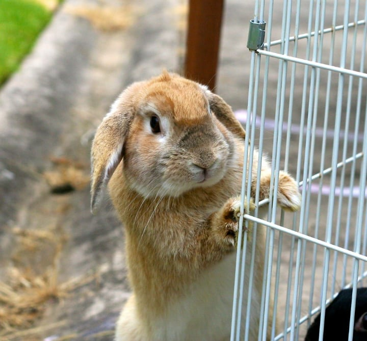 metal rabbit cage with a bunny outside