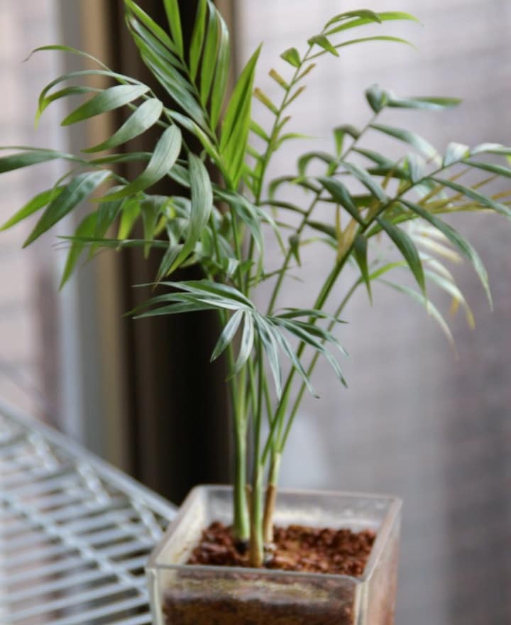 parlor palm low light indoor shade tree