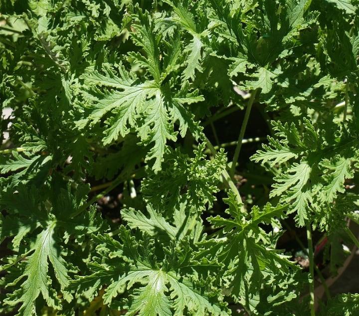 pelargonium citrosum leaves