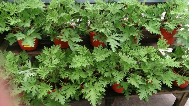 pelargonium citrosum or mosquito plant