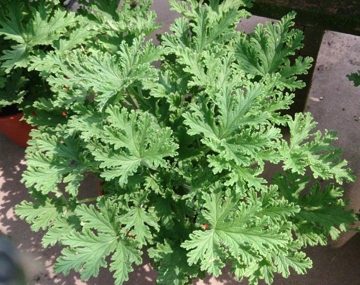 pelargonium citrosum under full sun