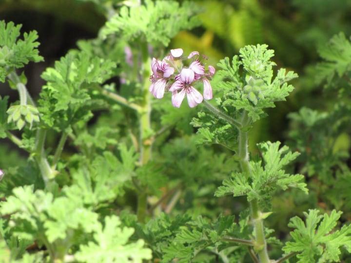 pelargonium graveolens blooms