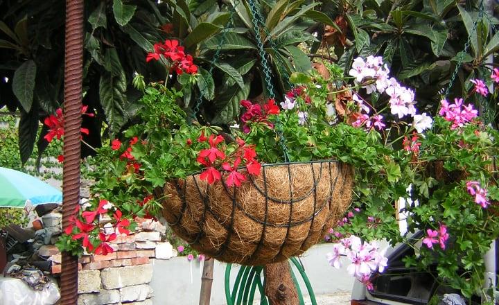 pelargonium peltatum on a hanging planter