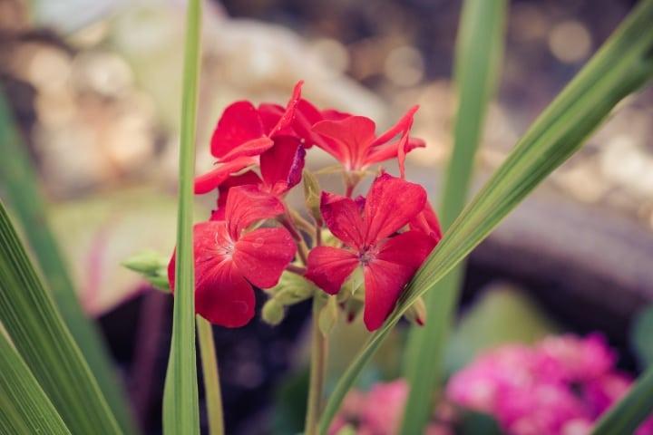 pelargonium x hortorum