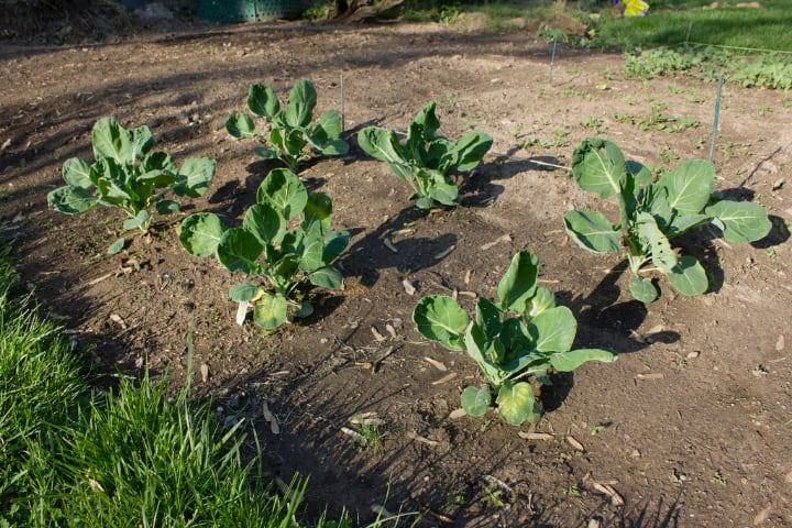 planted brussel sprouts on the ground