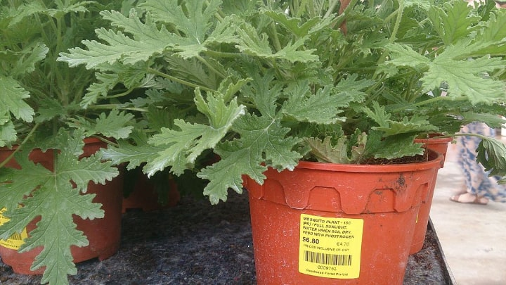 potted citronella plant ideal for indoor gardening