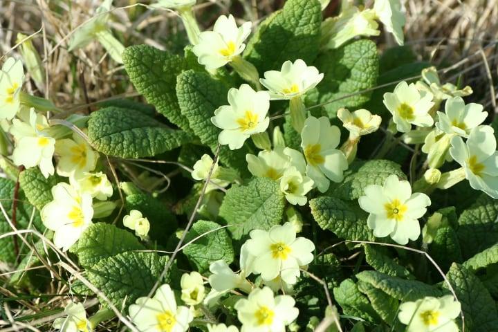 primula vulgaris english primrose flowering shade plant