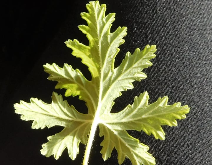 pruned leaf from citronella plant