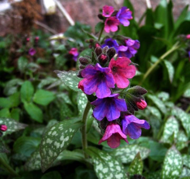 pulmonaria officinalis flowering shade plant