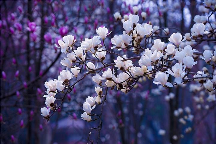 purple and white magnolia trees