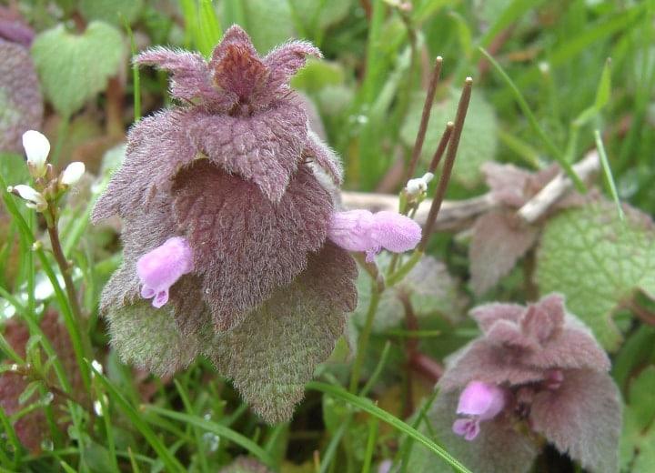 purple deadnettle flowering shade plat