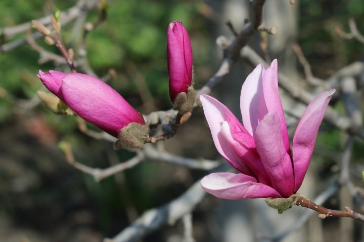 purple lily magnolia tree