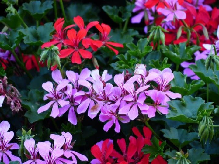 purple red ivy leaf geraniums