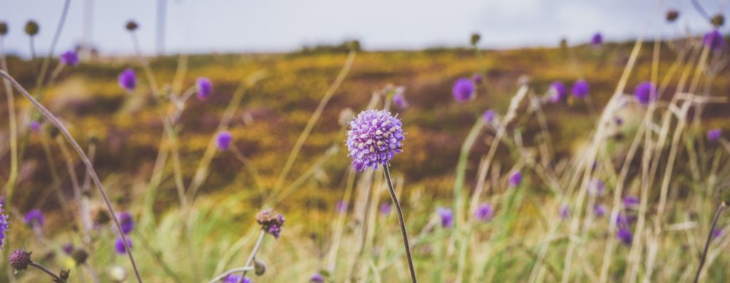 purple wild flowers in the field