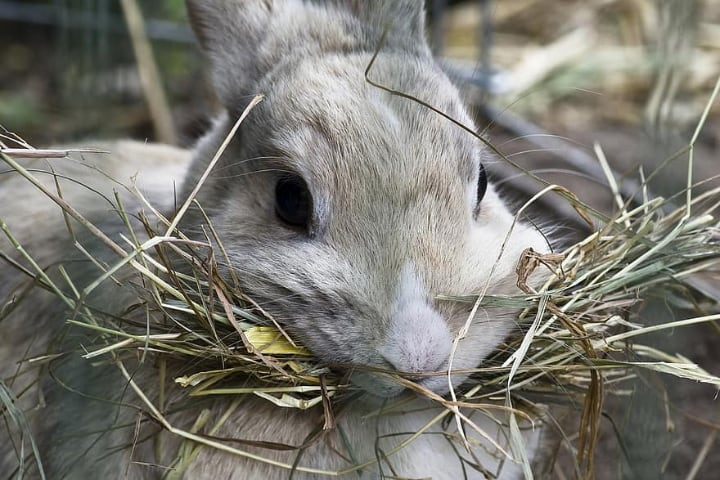 rabbit carrying lots of hay in mouth