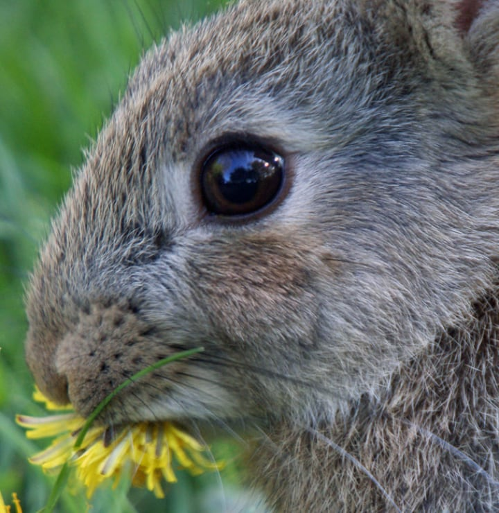 rabbit eating dandelion flower