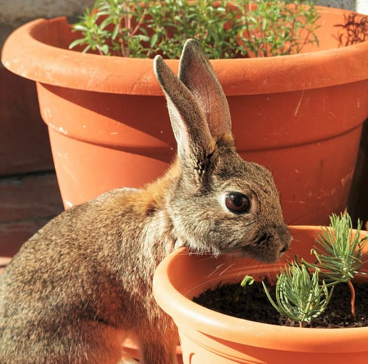 rabbit eating rosemary herbs