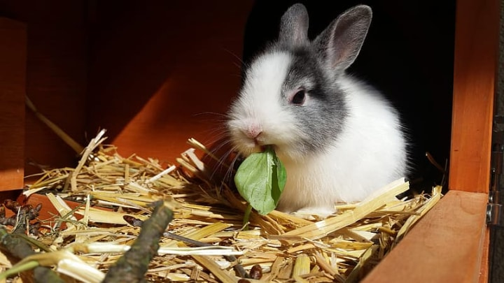 rabbit eatinng basil