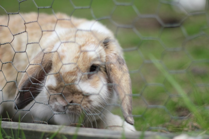 rabbit in a diy outdoor pen away from chewing garden plants and flowers