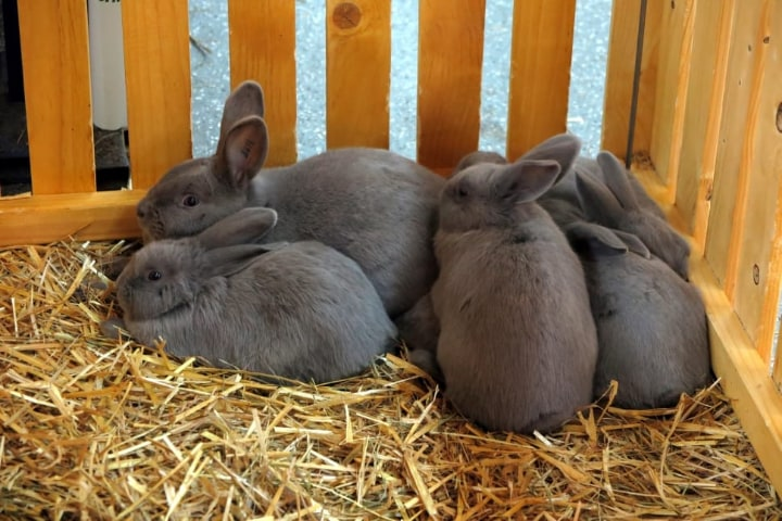 rabbit litter