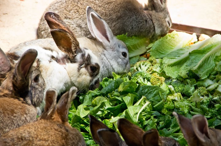 rabbits eatig kale broccoli and cabbage