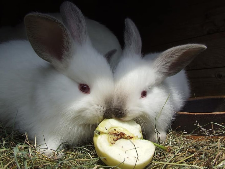rabbits eating an apple