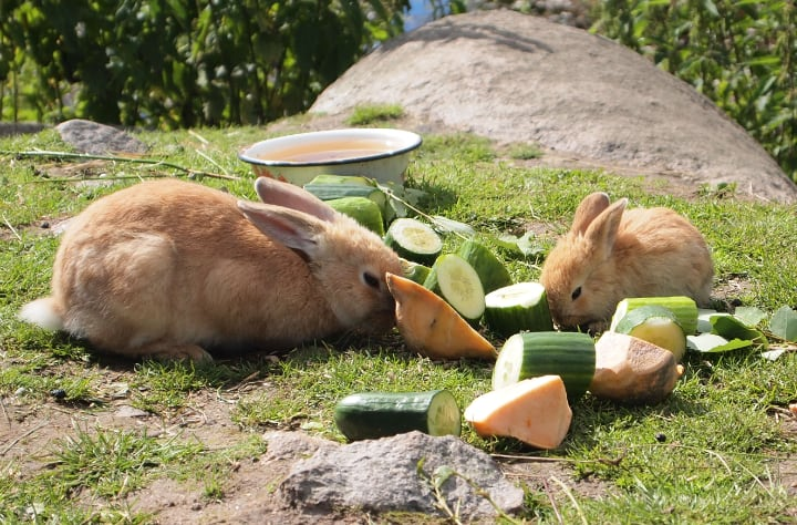 rabbits eating sliced cucumbers