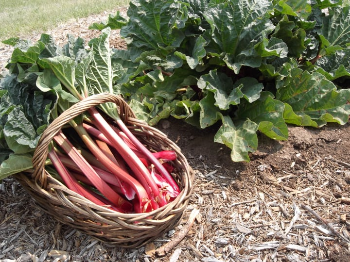 rhubarb is bad for rabbits