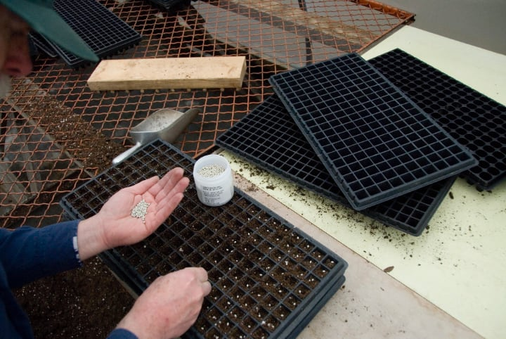 sowing geranium seeds to the seedling tray