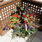 sun loving geranium