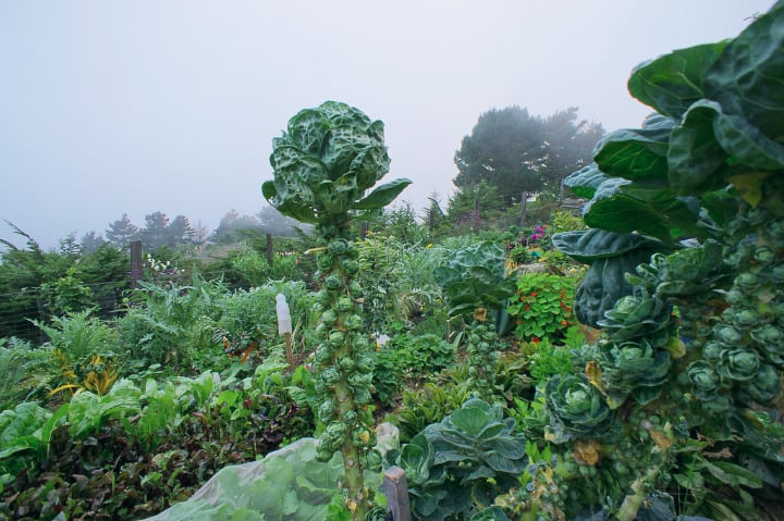 tall brussel sprout plant