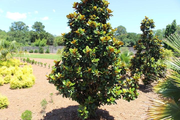 teddy bear magnolia tree