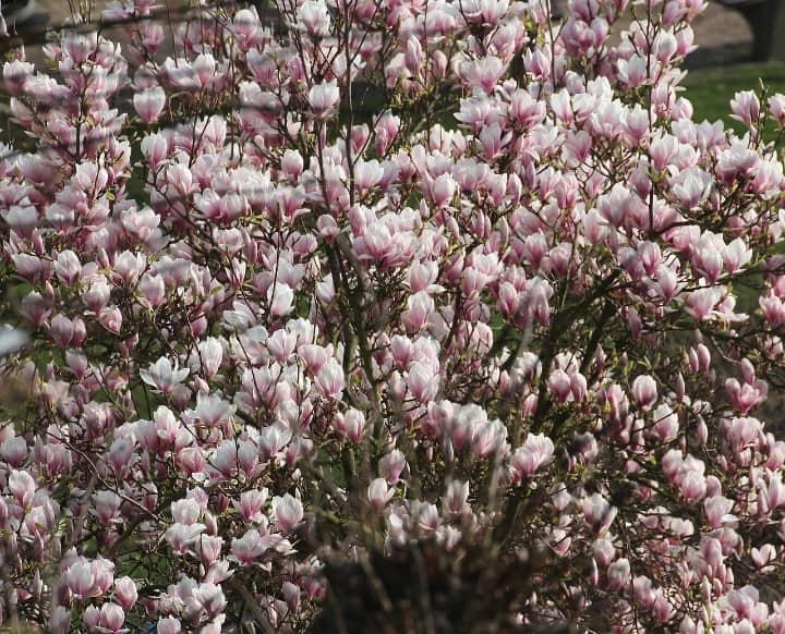 tulip magnolia tree